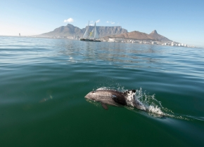 Dolphin-Cape-Town