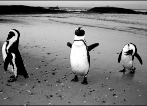 3 Penguins