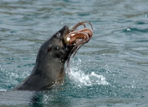 Seal Devours a Squid