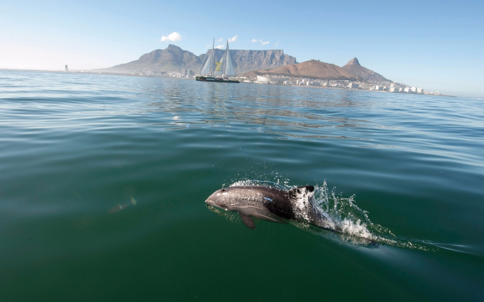 Dolphin, Cape Town